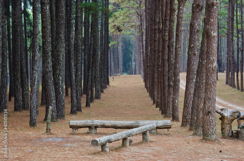 pine forest in thailand