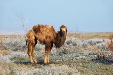 Small camel in the desert