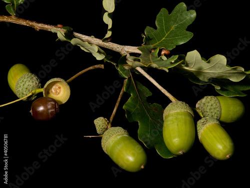 Eichblatt mit Eicheln