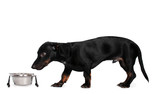 black little dachshund dog and food on gray background