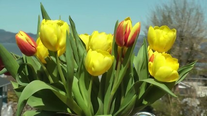 red, yellow tulips in Spring breeze