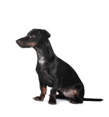 black little dachshund dog on gray background