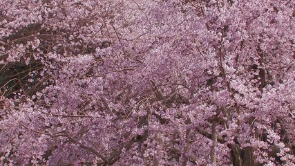 Weeping cherry tree in Yamanobe road,Nara,Japan_1