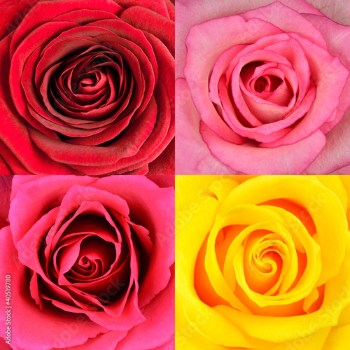 Macro of Four Rose Flowers Backgrounds