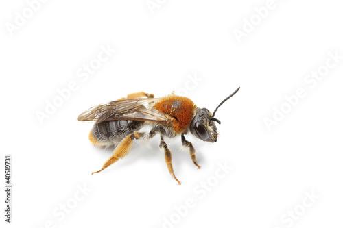 Poster abeille