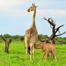 rare breast-feeding of young giraffe