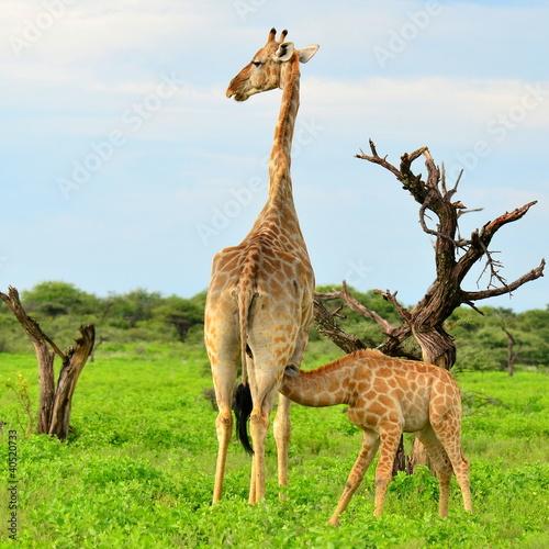 Fototapeta rare breast-feeding of young giraffe