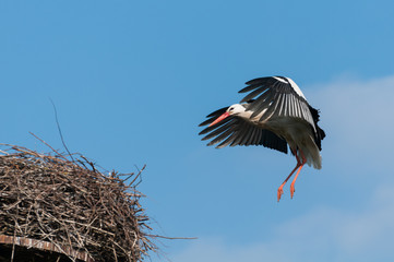 White Stork landing in nest