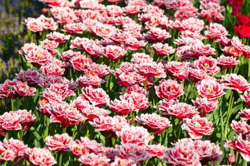 Multicolored tulips field