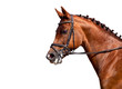 Chestnut horse in bridle isolated on white background