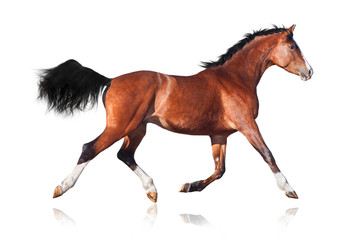 Bay horse isolated on white background