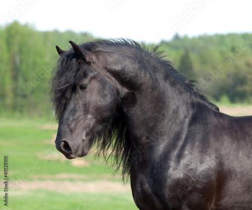 Czarny Koń portret konia w dziedzinie
