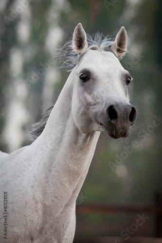 Szary portret koni arabskich w polu