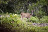 Wild deer (sambar or axis axis) in Mudumalai National Park poster