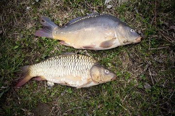 Two nice carps cought on a bite using light feeder.