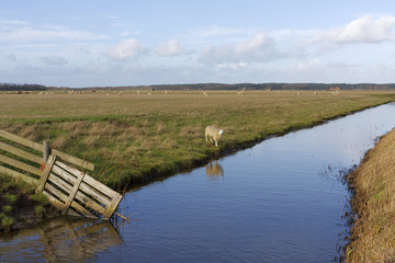 Landscape with sheep on Dutch island Texel