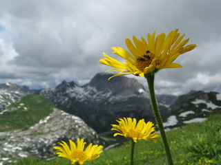 Arnika, Arnica montana, Lechquellgebirge, hinten Rote Wand