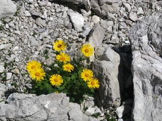 Arnika, Arnica montana, in alpiner Steinwüste