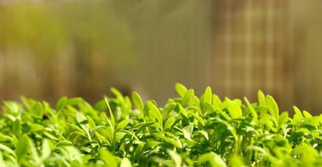 Green garden cress