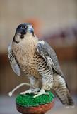 Fototapety arab falcon bird