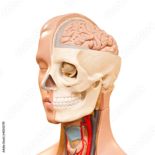 Human head anatomy picture