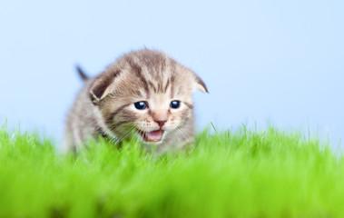 little tabby kitten Scottish meowing on green grass