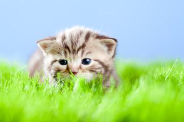 little tabby kitten Scottish lying on green grass