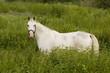 Shagya horse