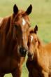 Fototapeten,pferd,pferd,freundinnen,wiese