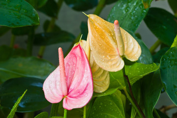 Anthurium, red and yellow.