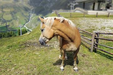 alta montagna - cavallo con criniera bianca