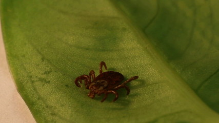 wood tick crawling on a leaf
