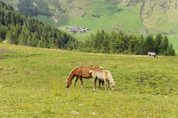 cavalli con criniera bianca al pascolo