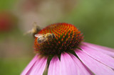 bees pollinate Echinacea poster
