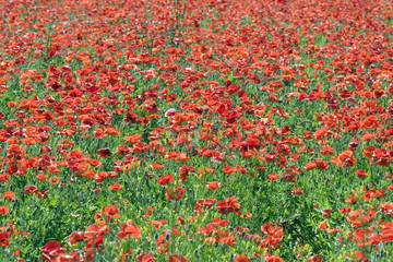 Field of Corn Poppy