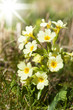 canvas print picture - Primrose/Primula veris