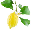 Lemon on a branch with leaves and a flower