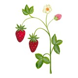 Artwork. strawberry plant