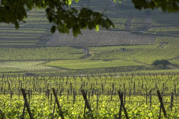 Landscape of vines in Alsace, France