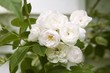 White shrub roses