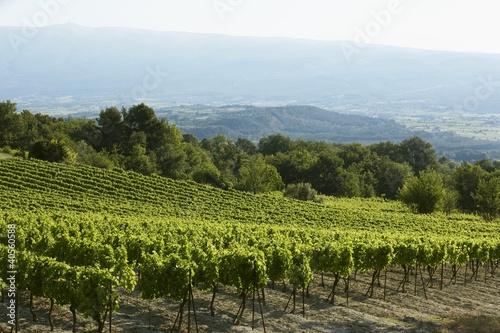 A vineyard in France