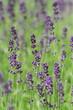 Flowering lavender in the field
