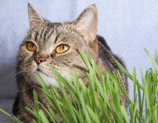 Tabby cat in grass on blue background