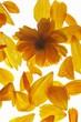 Heliopsis scabra