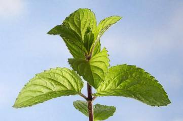 Fresh Thuringian mint