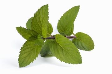 Thuringian mint