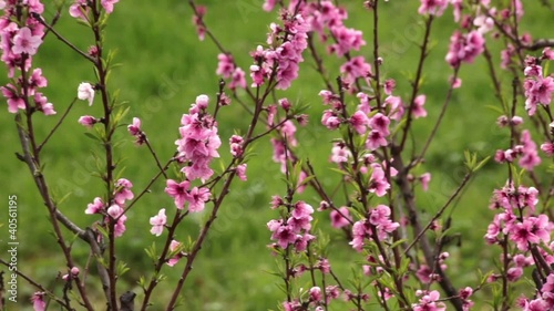 Spring Blossoms - Plum Tree