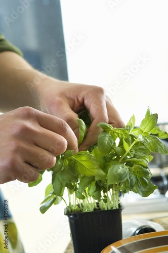 Picking off basil leaves