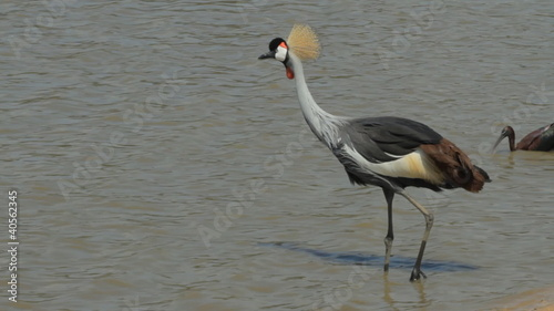 Crowned crane on the lake