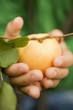 Child's hands holding an apricot
